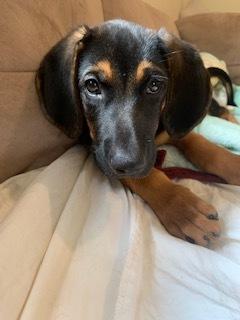 Dog For Adoption Astor A Bluetick Coonhound German Shepherd Dog Mix In Staten Island Ny Petfinder,Hummingbird Food Facts