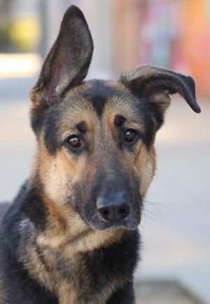 Max von Rossow is a very handsome 25 year old German Shepherd Max is a bigger boy who has been