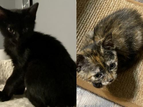 Clover and Acorn, an adoptable Tortoiseshell & Domestic Short Hair Mix in Fayetteville, GA