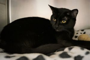 Meet Kali our 2 year old spayed female Bombay She came in with her 5 month old daughters Rune and