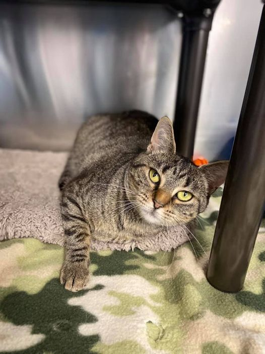 Cat For Adoption Coraline A Domestic Short Hair In Moundsville Wv Petfinder