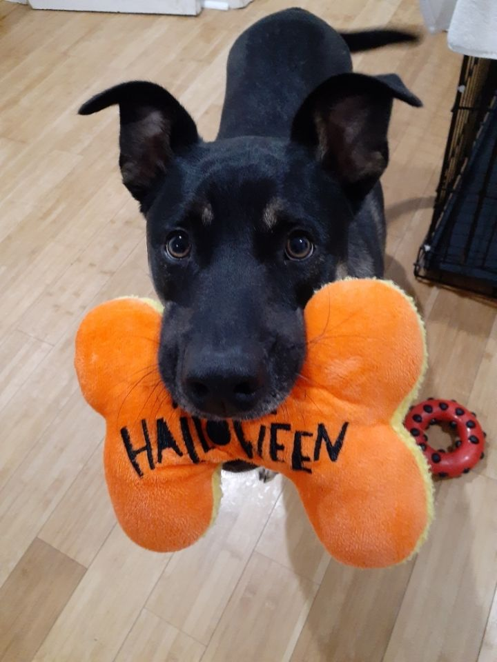 Cooper, an adoptable Retriever & Shepherd Mix in Highland, MD