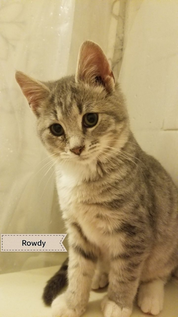 Mischief & Rowdy, an adopted Domestic Medium Hair in Stanton, KY