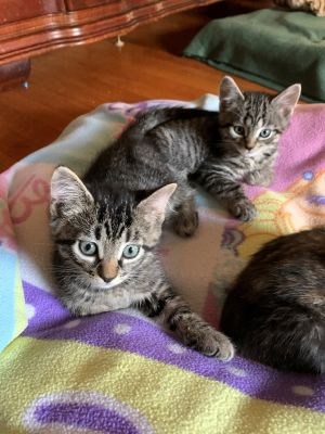 These are 2 7-week-old tiger brothers They are extremely playful and very very sweet They love be