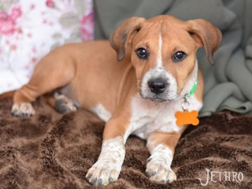 Jethro, an adoptable Cattle Dog Mix in Montgomery, TX