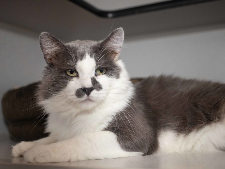 Chingon, an adoptable Domestic Medium Hair in Los Angeles, CA