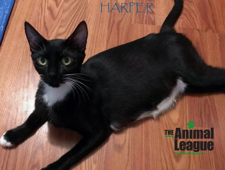 Harper, an adoptable Domestic Short Hair Mix in Clermont, FL