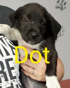 Dot Terrier Dog
