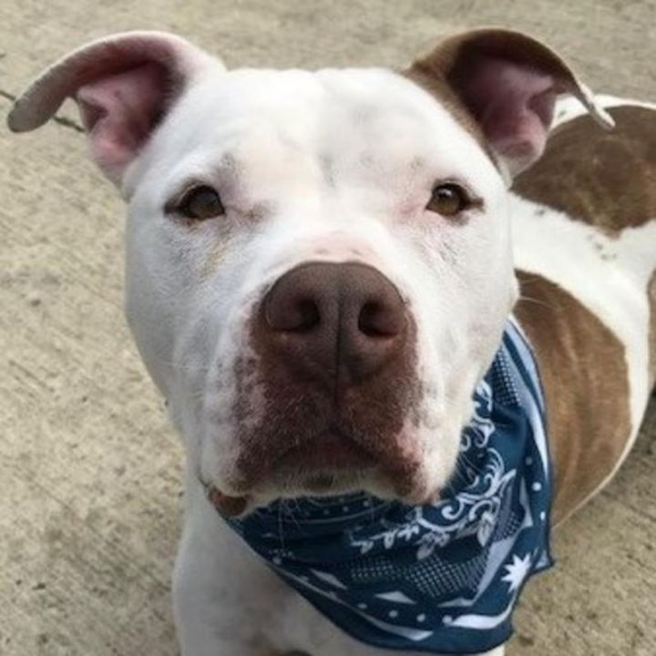Lola, an adoptable Pit Bull Terrier in Warrenton, OR