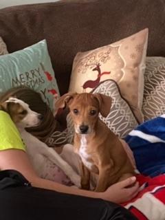Dog for adoption - Mitchell, a Corgi & Beagle Mix in Charlotte, NC |  Petfinder