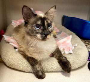 Meet Savannah This lovely 2 year old Siamese girl is eagerly waiting to find her perfect forever ho