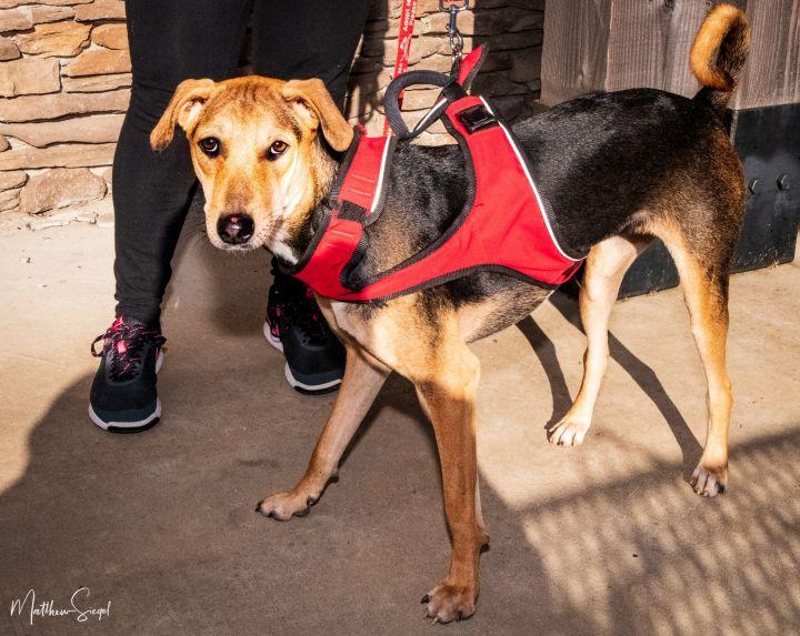 Jalsa and Juhi Indian Saluki Greyhound 4