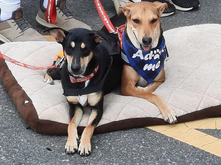 Jalsa and Juhi Indian Saluki Greyhound 2