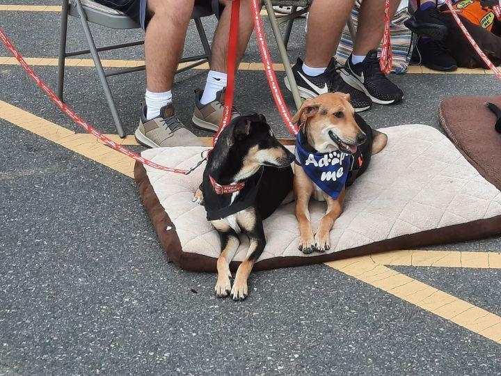 Juhi and Jalsa Indian Saluki Greyhounds 2