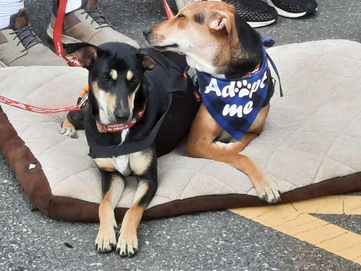 Juhi and Jalsa Indian Saluki Greyhounds 3