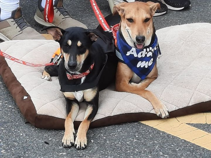 Juhi and Jalsa Indian Saluki Greyhounds 4