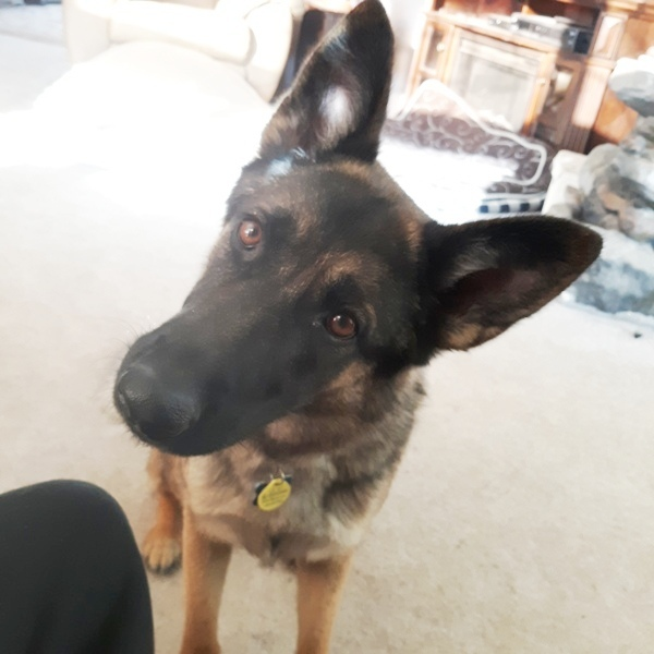 Lexi, an adoptable German Shepherd Dog in Denver, CO