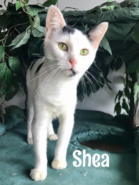 Shae, an adopted Domestic Short Hair in Warminster, PA