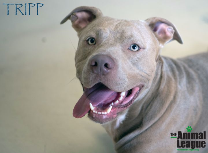 Tripp, an adoptable Pit Bull Terrier Mix in Clermont, FL
