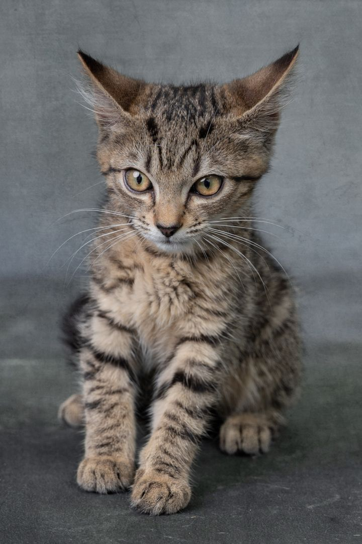 Edgar, an adoptable Domestic Short Hair in Myakka City, FL
