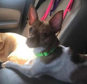 Meet Hilton an adorable 7-month-old male chihuahua mix pup He weighs just 8 lbs The shelter was t