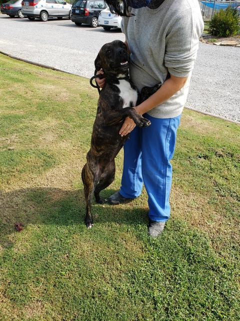 Mollie, an adoptable Boxer & Pit Bull Terrier Mix in Murphysboro, IL_image-4