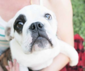 Petey is a special needs 4 month old English Bulldog puppy who was turned in to the shelter as a