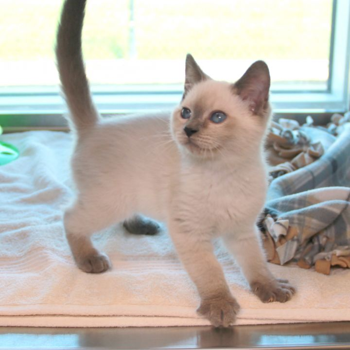 Wilma, an adoptable Siamese Mix in Clovis, CA