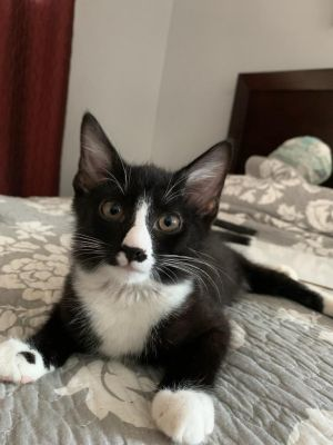 Sylvester is an adorable 3 month old Tuxedo sweetheart He was found paralyzed and incontinent on t