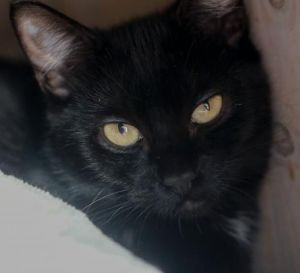 Hello my name is Amber I am a small 1 year old spayed female domestic short