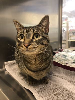 Lilly is a beautiful two year old tabby girl super affectionate loves to be pet and adores human a