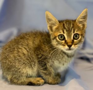This is Mortimer He is a six to seven week old kitten and he will be ready to find a