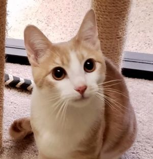 This is Rex and he wants to be king of your kitty castle He is a 4 month old orange
