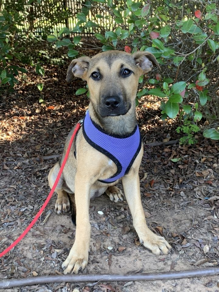 Magic, an adoptable Shepherd Mix in Barnesville, GA