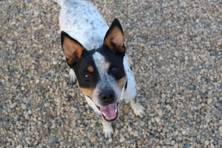 Chisum, an adoptable Australian Cattle Dog / Blue Heeler in Pierre, SD