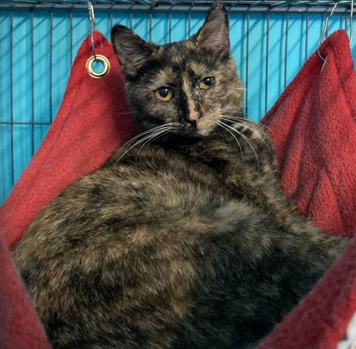 Moon, an adoptable Domestic Short Hair Mix in Spencer, IN