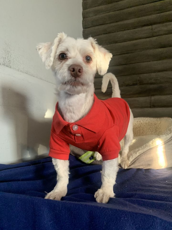 Donner, an adopted Maltese in Matthews, IN