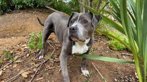 DONUT Pit Bull Terrier Dog