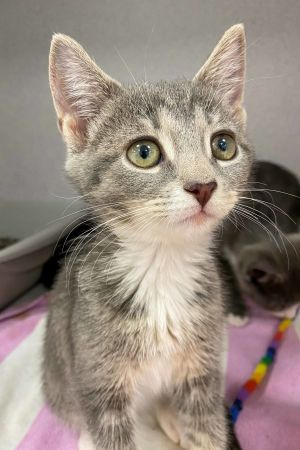 Cutie light gray tabby female After her family was dumped outside by her previous owner this 8-