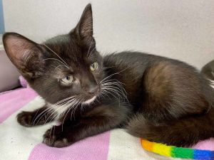 Night Star BW male After his family was dumped outside by his previous owner this 8-week old