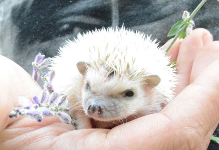 Spumoni, an adopted Hedgehog in Saint Paul, MN
