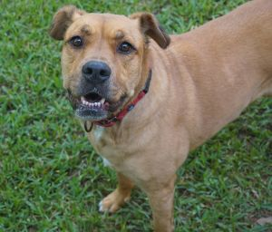 Penelope Golden Retriever Dog