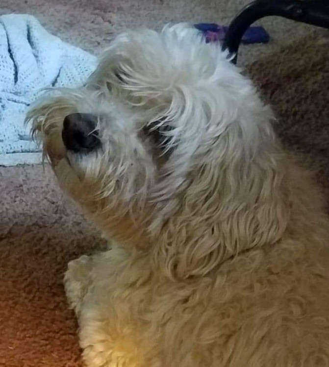 Mickey, an adopted Poodle in Rochester, NY
