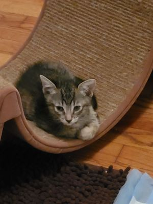 Simon Tabby Cat