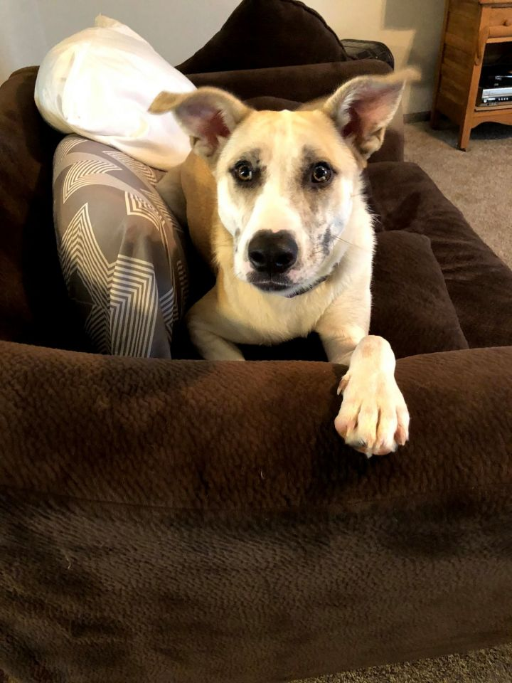 Baxter, an adoptable Husky Mix in Manhattan, KS