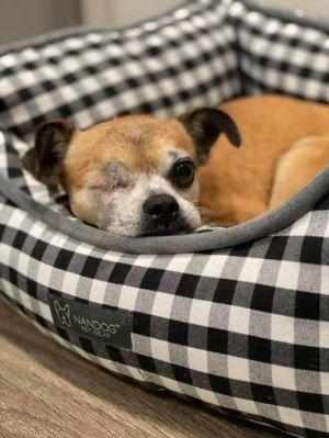 Coco Ray (TX) Chihuahua Dog