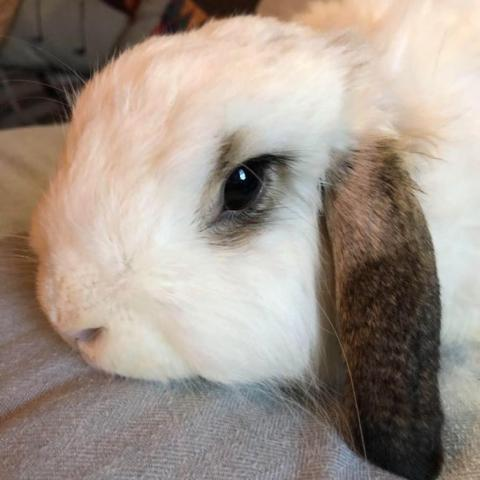 Sonny, an adoptable American Fuzzy Lop in Bowie, MD