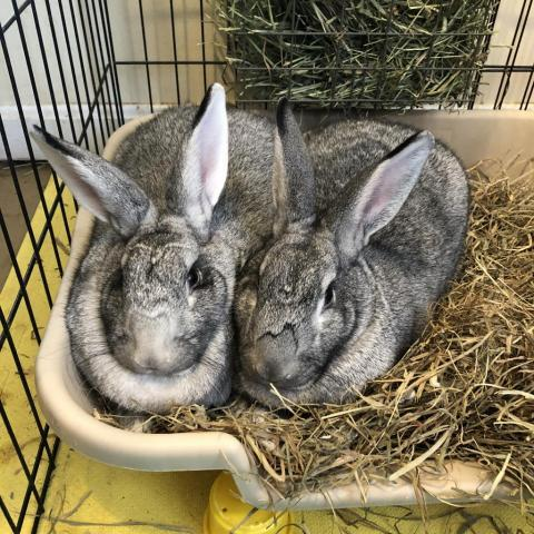 Kiki and Elton, an adoptable American in Rock Hall, MD