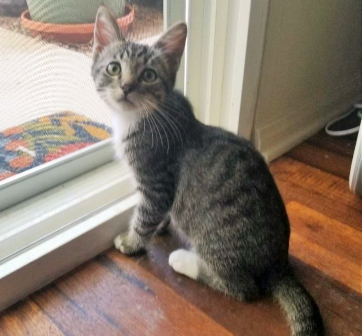 Zuko, an adopted Domestic Short Hair in Mission Viejo, CA