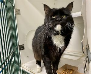 A volunteer writes Some cats make you work for their love Charlie is one of those cats a handsome